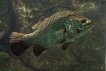 釣り魚の生態⑨幻の魚、アカメの生態